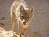 Canis aureus Tabaqui.jpg